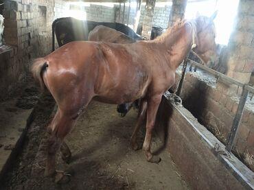 Животные - Чат Кёль: Продаю | Конь (самец) | На забой, Рабочий