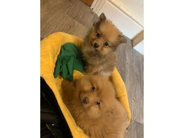 Pomeranian κουτάβια διαθέσιμα προς πώλησηPomeranian κουτάβια διαθέσιμα