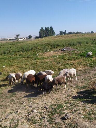 Животные - Шопоков: Продаю   Овца (самка), Ягненок   Полукровка   На забой, Для разведения   Племенные, Котные, Матка