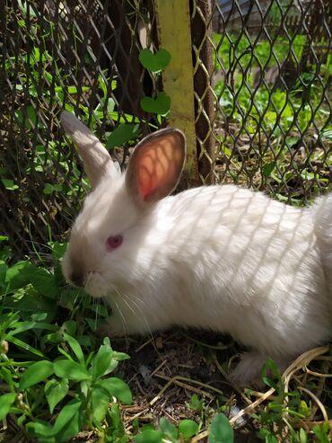 продам-крольчат в Кыргызстан: Продаю крольчат породы Калифорния. 2,5 х месячные. Новопокровка