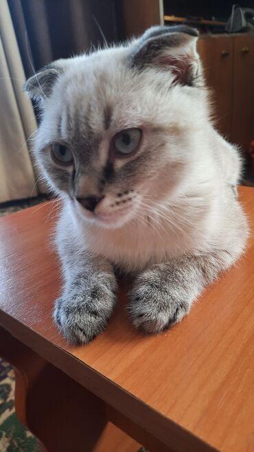Вислоухий шотландец.Котёнку 3,5- месяцев.Игривый,послушный. Приучен с