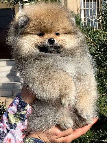 защита от собак в Кыргызстан: Продаю шпица, девочка, густая шерсть, хороший тип