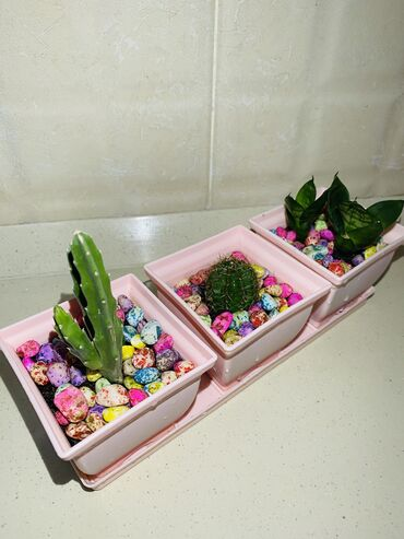Otaq bitkiləri Sumqayıtda: 2 вида Кактуса, Сансаверия
