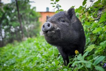 Вьетнамские поросята, свиньи одна месячные (травоядные)
