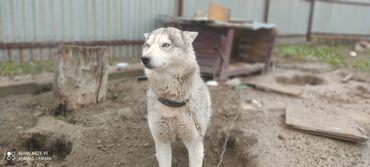 пропала собака хаски в Кыргызстан: Пропала собака порода хаски, сучка, район жилмассив Энесай, приметы
