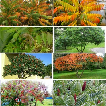 Сумах или Уксусное дерево