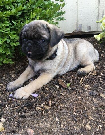 Pugs κουτάβια προς πώλησηδιαθέτουμε αρσενικά και θηλυκά κουτάβια Pugs