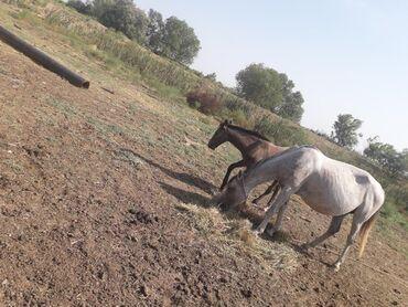 buick century 33 at - Azərbaycan: At satilir yaninda erkey balasi at bilesuvardadi araba atidi