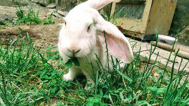 продам-крольчат в Кыргызстан: Продам кралика белого цвета, и дом для кроликов