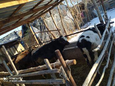 платье в клетку с белым воротником в Кыргызстан: Бычки 5 баш