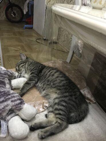 ищу кошку в Кыргызстан: Отдам кошку в хорошие руки