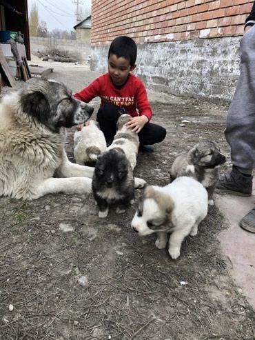 Продаю щенки Волкодава 1месячные в Лебединовка