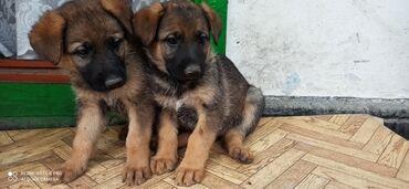 Животные - Мыкан: Продаю щенков немецкой овчарки 1,5 месяца