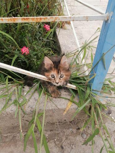 Коты - Беловодское: Продаются котята мейнн-кун 3 девочки