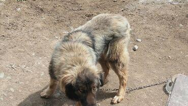 Продаю собаку за 1500 сом наличными, большоя мольчик охраняет дом от