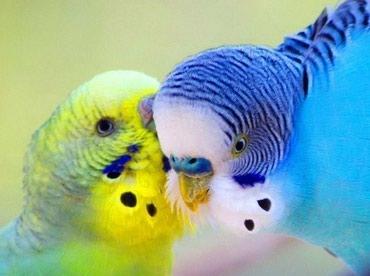 волнистые попугаи размножение в Кыргызстан: Яркие попугаи волнистые