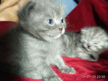 Принимаем бронь!!!Шотландские котята.Пол: мальчик и девочка.цвет