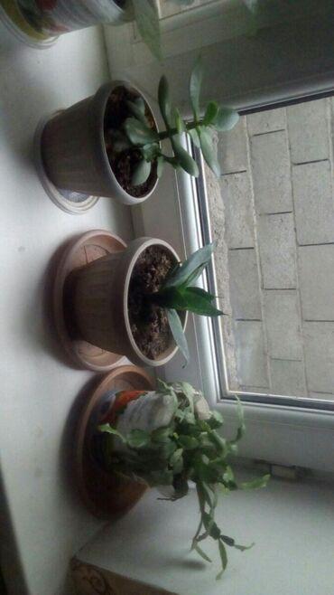 Комнатные растения в Кок-Ой: Комнатные цветы