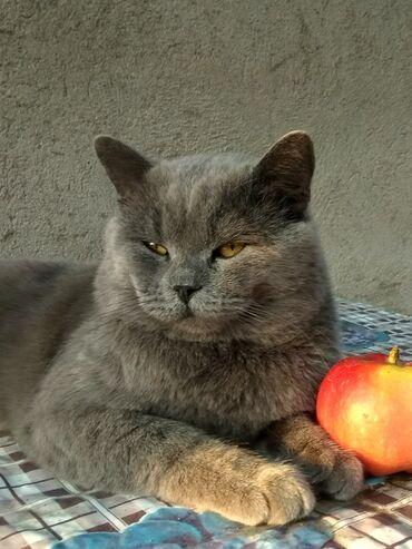 Коты - Кыргызстан: Кот на вязку. Британиц,2 года. Панфиловский район Каинда. По всем