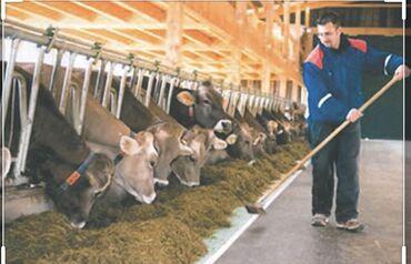 Работа - Беловодское: Нужен работник на маленькую частную ферму . 8 голов коровы 4 из них