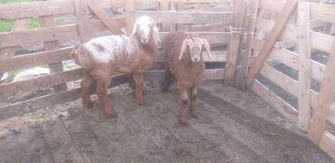 наушники для бега купить в Кыргызстан: 1 кой сатам, эгиз козулары менен, 1 козу ургаачы, 1 козу эркек