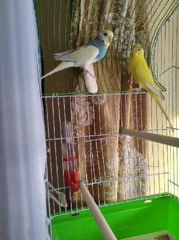 волнистые попугаи размножение в Кыргызстан: Продается волнистые попугаи 5 месяцев, в месте с клеткой