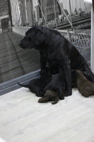 В хорошие руки щенков лабрадора-ретривера( мальчики-шоколадные, девочк в Лебединовка