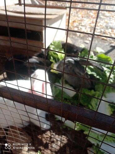 buick le sabre 3 8 at в Кыргызстан: Кролики 8 мес  5 шт продаю вместе 1500 тыс за 1 шт
