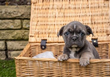French bulldog puppies for sale WhatsApp me +33 French bulldog