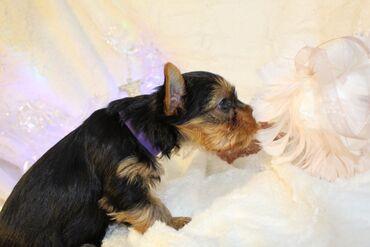 Kc εγγεγραμμένα κουτάβια Yorkshire Terrier προς πώλησηΈχουμε αρσενικά