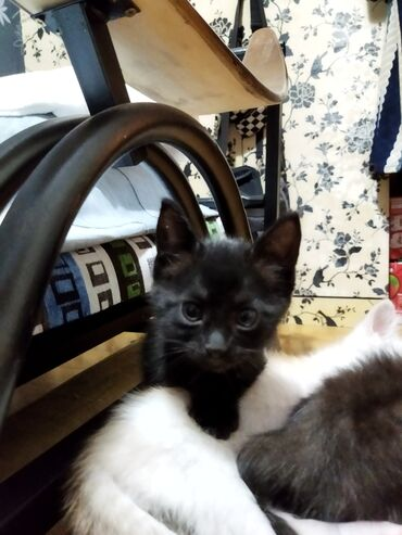 Животные - Кировское: Черная кошечка ищет любящих и заботливых хозяев! 2,5 месяца, уже