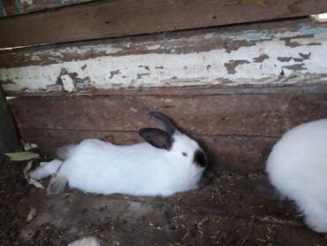 Heyvanlar Samuxda: Kaliforniya dovşanı dişidirlər düper ətləri olur