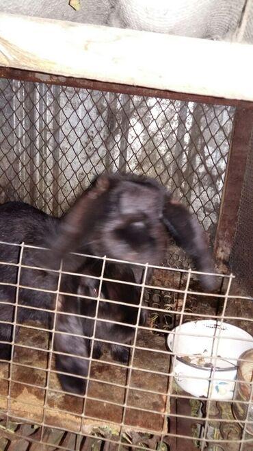 продам-крольчат в Кыргызстан: Продаю крольчат порода нзб.нзч.и ризен белый. Серый великан.возраст