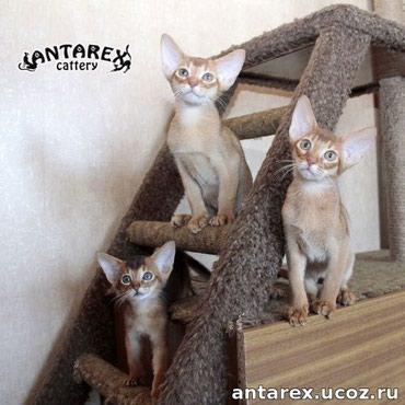 Абиссинские котята - мини-пума в вашем в Бишкек