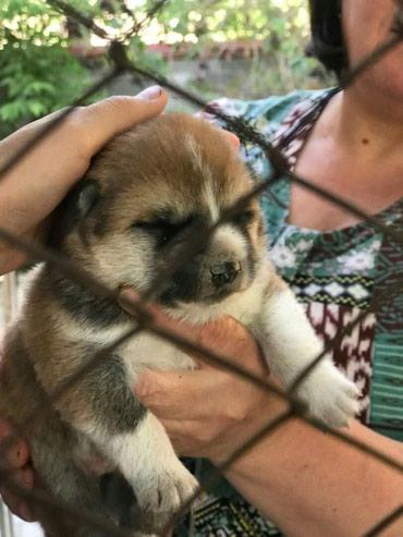 Срочно продам щенков породы Акита-ину. в Бишкек
