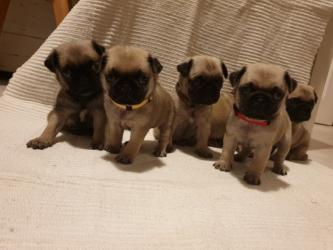 Όμορφα Pug κουτάβια προς πώληση σε Eani