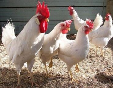 утка для больных в Кыргызстан: Продаю | Куры, Инкубационные яйца | Леггорн | Несушки