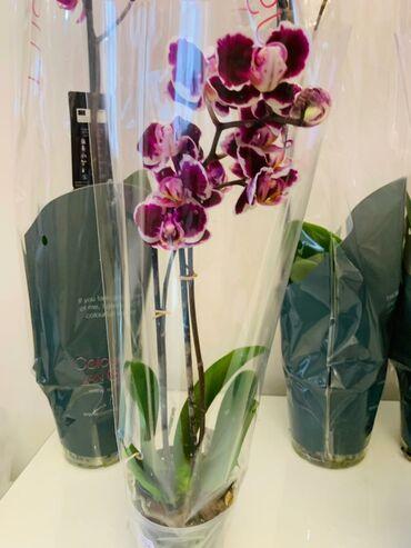 Орхидея, орхидеяорхидея!!!!!