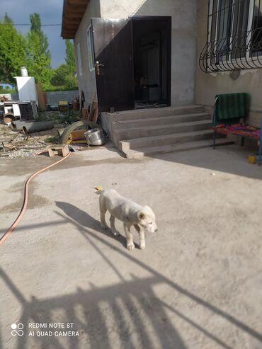 Животные - Ленинское: Меняю на немецкую овчарку