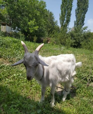 Животные - Сокулук: Козы, козлы