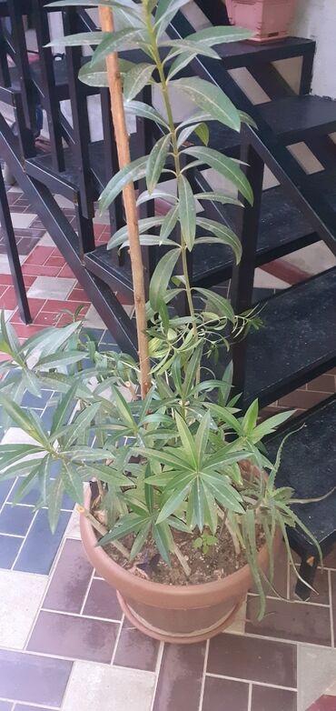 Комнатные растения - Кызыл-Кия: Продаётся комнатные растения. Голландский каланхоэ, бегонии, герань и