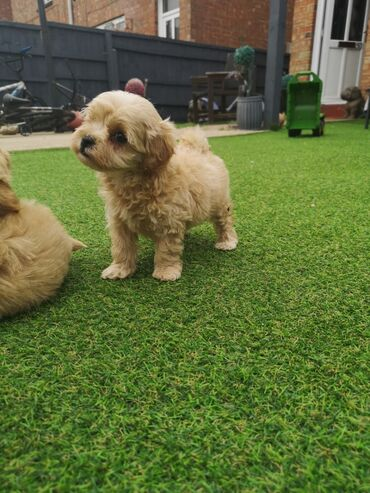Very sweet and cute Maltipoo puppies available for rehoming 12 weeks