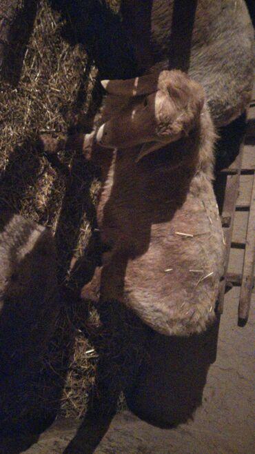 Бараны, овцы - Порода: Другая порода - Бишкек: Бараны, овцы