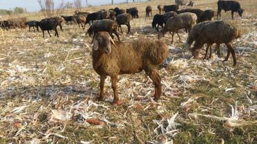 7 , 5 айлык кочкорлор 15000  в Кант
