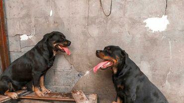 Животные - Беловодское: Имеется ротвейлер для вязки (Беловодск)