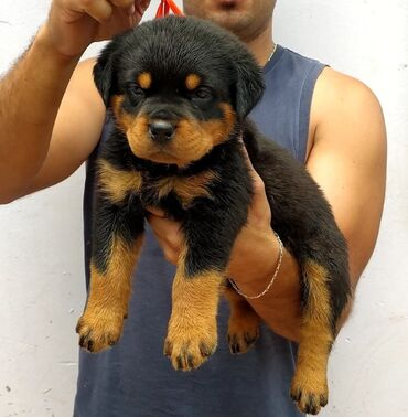 Rottweilers pupsReady for rehoming both genders available, vaccinated
