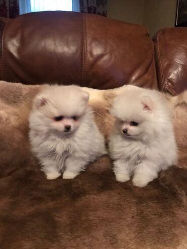Για σκύλους - Αθήνα: Pomeranian Dogs and Puppies for sale Absolutely stunning rare colour l