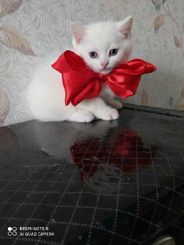 японская порода кошек в Кыргызстан: Британцычистых пород,готовы к новым хозяевам,остался один мальчик
