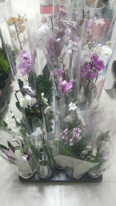 красавица орхидея. широкий выбор к новому году фалленопсис.мильтония.д в Бишкек