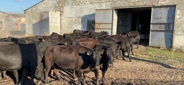 412 москвич купить в Ак-Джол: Куплю быков бычков звоните